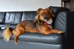 Piccolo cane si siede sul suo posto favorito, lo schienale della poltrona immagini stock