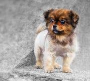 Piccolo cane su un calcestruzzo grigio Immagine Stock