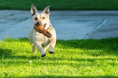 Piccolo cane sveglio che gioca nel cortile Fotografie Stock Libere da Diritti