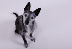 Piccolo cane sveglio che sembra sorpreso Fotografie Stock Libere da Diritti