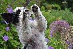 Piccolo cane sveglio con i grandi occhi ed orecchie di volo che elemosina gli ossequi fotografia stock