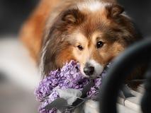 Piccolo cane sveglio di Sheltie con un mazzo dei fiori Fotografia Stock