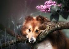 Piccolo cane sveglio di Sheltie con un mazzo dei fiori Immagine Stock Libera da Diritti