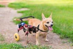 Piccolo cane sveglio in sedia a rotelle o carretto che cammina nel campo di erba Fotografie Stock Libere da Diritti
