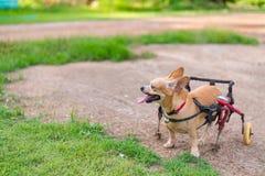 Piccolo cane sveglio in sedia a rotelle o carretto che cammina nel campo di erba Fotografia Stock