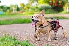 Piccolo cane sveglio in sedia a rotelle o carretto che cammina nel campo di erba Immagine Stock