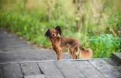 Piccolo cane sveglio sulla passeggiata Fotografie Stock Libere da Diritti