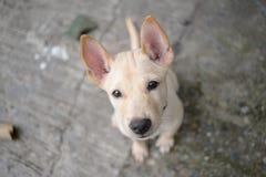 Piccolo cane tailandese di Cutie Fotografia Stock Libera da Diritti