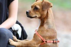 Piccolo cane/tocco/contatto umani Fotografie Stock Libere da Diritti