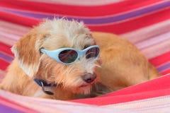 Piccolo cane trasversale divertente della razza in amaca fotografia stock libera da diritti