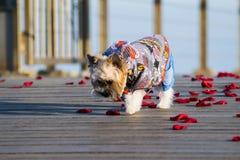 Piccolo cane vestito sveglio che cammina sui petali rosa immagine stock