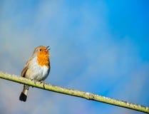 Piccolo canto sveglio dell'uccello del pettirosso immagine stock libera da diritti