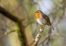 Piccolo canto sveglio dell'uccello del pettirosso fotografia stock libera da diritti