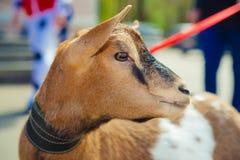 Piccolo capra ad un evento di carità Molto positivo ed amori da posare fotografia stock