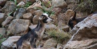 Piccolo capra che scala un percorso roccioso verso l'amico fotografia stock libera da diritti