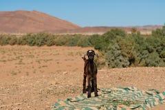 Piccolo capra in mezzo al deserto con una coperta sulla terra immagini stock