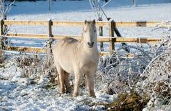 Piccolo cavallino bianco Immagine Stock