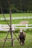 piccolo cavallo che lega con l'albero Fotografia Stock