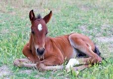 Piccolo cavallo del bambino che si trova su un'erba verde fresca Immagini Stock