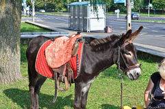 Piccolo cavallo del mulo nel parco Immagini Stock Libere da Diritti