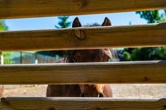 Piccolo cavallo marrone dietro la libertà del recinto Fotografia Stock Libera da Diritti