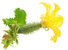 Piccolo cetriolo con il fiore Immagini Stock Libere da Diritti