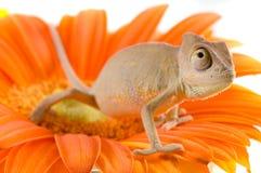 Piccolo chameleon Fotografia Stock Libera da Diritti