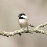 Piccolo Chickadee dell'uccello Immagini Stock Libere da Diritti
