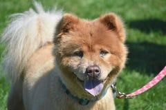 Piccolo Chow Puppy stanco adorabile su un guinzaglio immagini stock libere da diritti