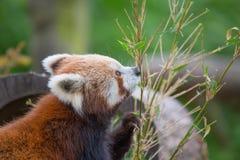Piccolo cibo del panda Immagine Stock