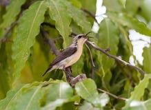 Piccolo cinguettio dell'uccello Fotografie Stock