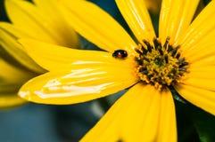 Piccolo coccinella nera nelle gocce di rugiada su un fiore giallo immagini stock