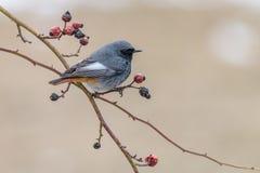 Piccolo codirosso spazzacamino dell'uccello che si appollaia sul ramo di rovo fotografia stock libera da diritti
