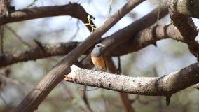Piccolo codirossone sul ramo di albero asciutto video d archivio