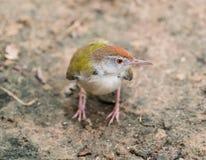 Piccolo colibrì Immagini Stock