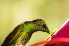 Piccolo colibrì sveglio nella foresta tropicale della nuvola, Colombia, uccello che si libra accanto all'alimentatore rosso con a immagine stock libera da diritti