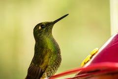 Piccolo colibr? sveglio nella foresta tropicale della nuvola, Colombia, uccello che si libra accanto all'alimentatore rosso con a immagini stock libere da diritti