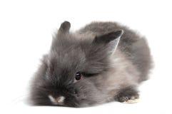 Piccolo coniglietto nero su priorità bassa bianca Immagini Stock Libere da Diritti