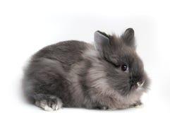 Piccolo coniglietto nero su priorità bassa bianca Fotografie Stock Libere da Diritti