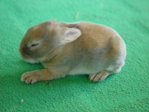 Piccolo coniglio Fotografia Stock Libera da Diritti