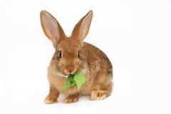 Piccolo coniglio Immagini Stock Libere da Diritti