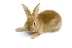 Piccolo coniglio del bambino Fotografia Stock Libera da Diritti