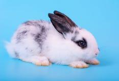 Piccolo coniglio di coniglietto in bianco e nero adorabile con azione differente su fondo blu fotografia stock