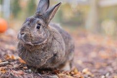 Piccolo coniglio di coniglietto grigio e bianco nel giardino in autunno fotografie stock libere da diritti