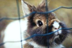Piccolo coniglio di coniglietto sveglio che guarda fuori della gabbia - animali domestici Fotografie Stock