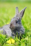 Piccolo coniglio grigio Immagini Stock