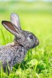 Piccolo coniglio grigio Fotografia Stock