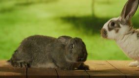 Piccolo coniglio grigio che cammina ad un coniglio bianco stock footage