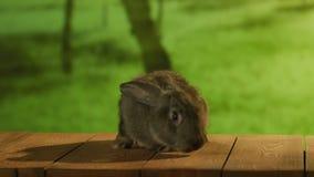 Piccolo coniglio grigio che si siede sulle plance di legno stock footage