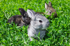 Piccolo coniglio grigio sul prato inglese verde Fotografia Stock